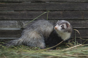 How to get rid of a ferret in a chicken coop