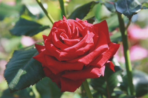 How to grow a rose from a cut flower