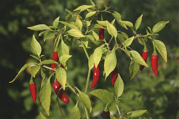 How to grow pepper seedlings