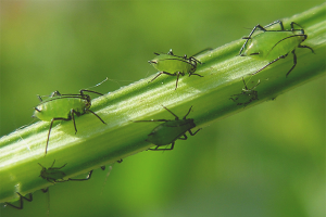 How to get rid of aphids on indoor flowers