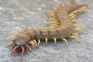 How to get rid of scolopendra