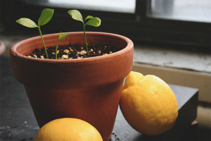 How to grow lemon