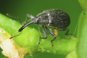 How to get rid of weevil on strawberries