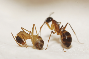 How to get rid of red ants in the apartment