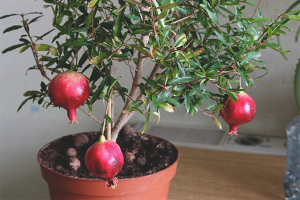 How to grow pomegranate from the stone
