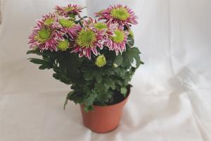 Cum să aibă grijă de crizanteme într-o oală