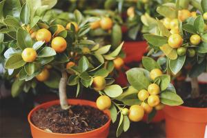 Cum să ai grijă de un copac de mandarine