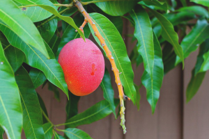 How to grow mango from bone