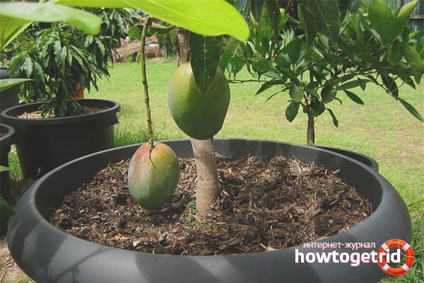 Πώς να φτιάξετε μάνγκο στον κήπο