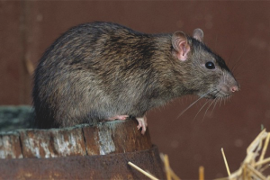 How to get rid of rats in the hen house