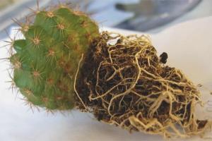 Cum să transplantați cactus