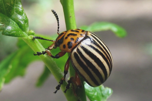 How to get rid of the Colorado potato beetle