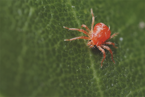 How to get rid of spider mites in the greenhouse