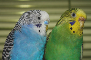 How to distinguish the parrot boy from the girl