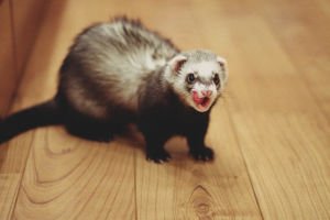 How to wean a ferret biting