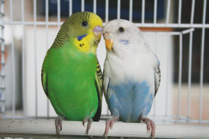 How to breed wavy parrots