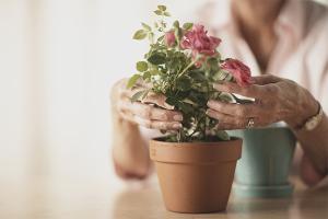 Cum să ai grijă de un trandafir într-o oală