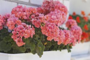 Cum să ai grijă de geraniums