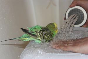 How to bathe wavy parrots