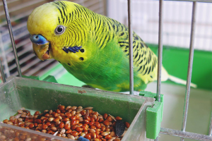 How to feed a wavy parrot