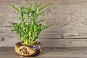 Cum să aibă grijă de bambus