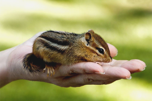 How to care for a chipmunk