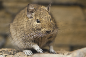 How to care for degu