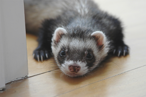How to care for a ferret
