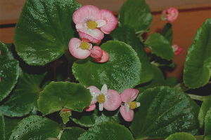 How to grow begonia
