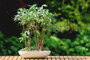 How to grow ficus