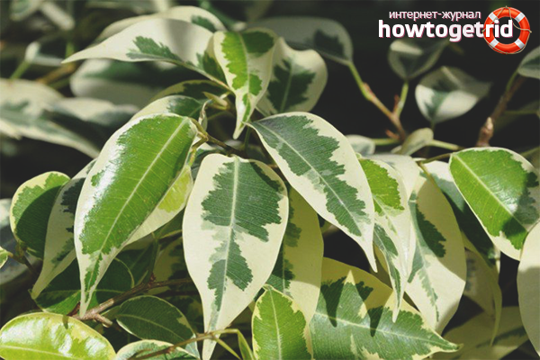 Λίπασμα Ficus