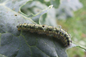 How to get rid of caterpillars on cabbage
