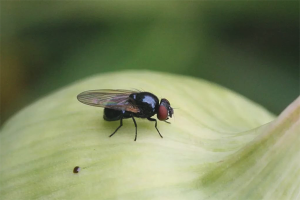 How to get rid of onion flies in the garden