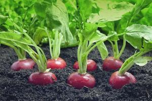 Comment planter des radis en pleine terre