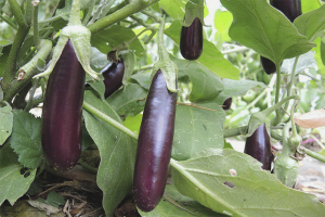 Comment faire pousser des aubergines en plein champ