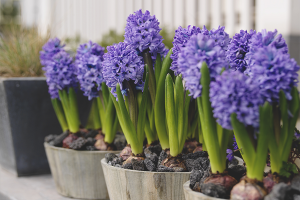 How to grow a hyacinth