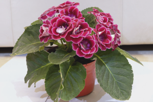 How to grow gloxinia from seed