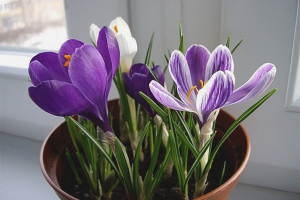 How to grow crocuses