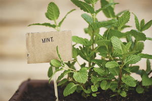 How to grow mint on the windowsill