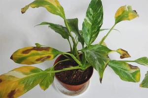 Γιατί τα φύλλα του σπαθιφιλούμ γίνονται κίτρινα