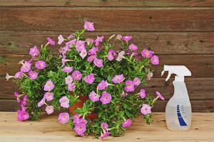 Comment nourrir le pétunia pour une floraison abondante