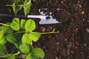 Comment préparer le terrain pour la plantation de fraises