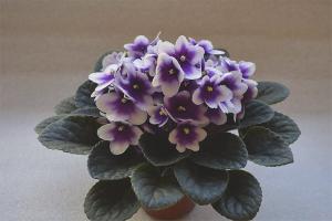 Pourquoi ne pas fleurir les violettes