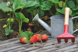 Comment nourrir les fraises en automne
