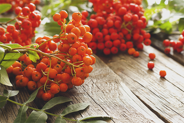The benefits and harms of red rowan