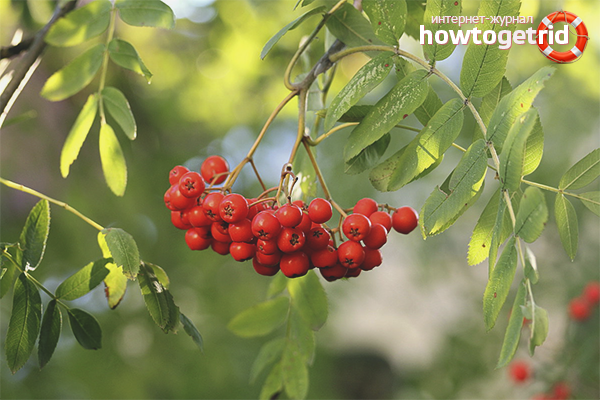 The benefits of mountain ash for men