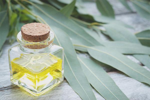 Proprietăți medicinale și contraindicații ale eucaliptului