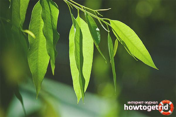 Rolul eucaliptului în medicină