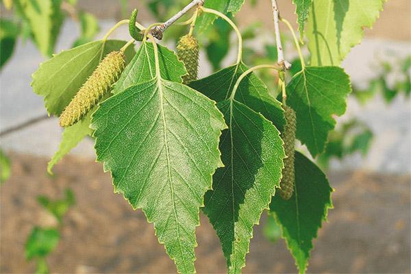 Proprietăți medicinale și contraindicații ale frunzelor de mesteacăn