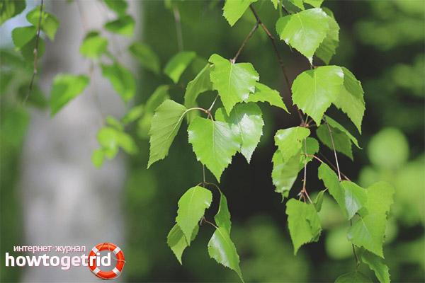 Aplicarea frunzelor de mesteacan